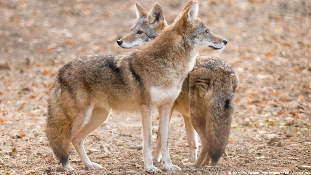 couple de coyote