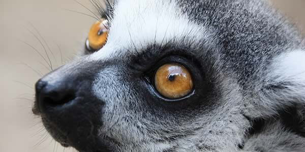 zoom regard lemur catta