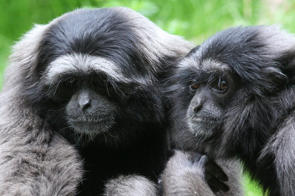 Couple de gibbons